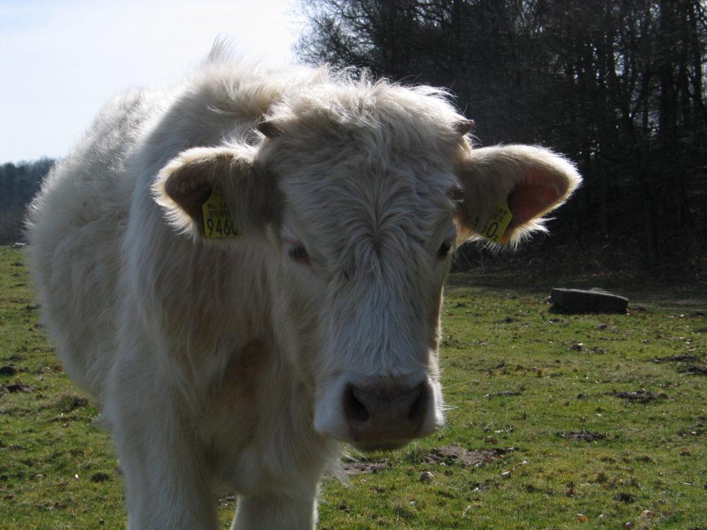 Verhuizing runderen Goois Natuurreservaat