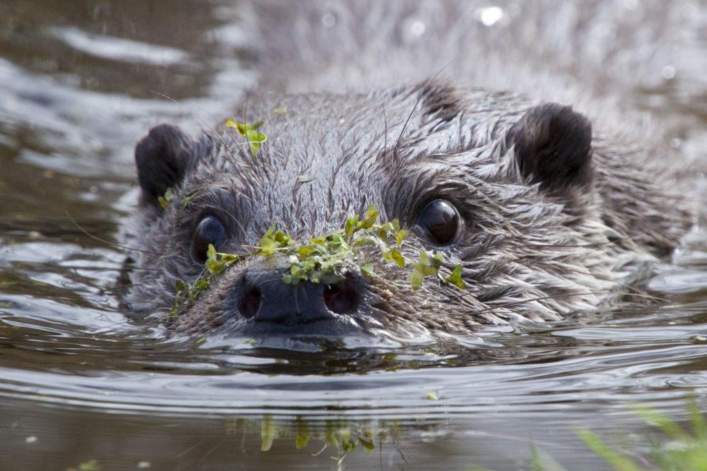 Hoera! Ottergeil gevonden